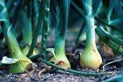 121613-garden-onions
