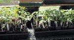 033013-tomato-sprouts