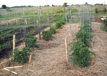 033014-garden-tomato-cages