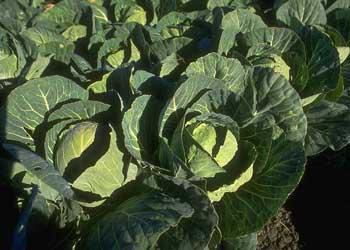 050814-cabbage