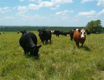 0820114-cows