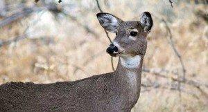 091614-deer