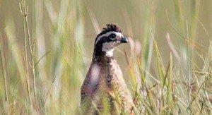 092614-quail-kdwpt
