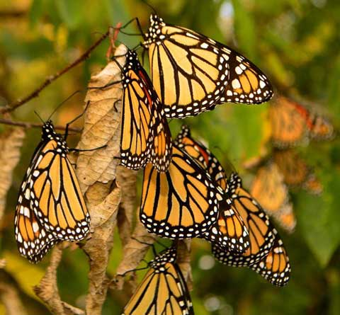 092914_Monarchs_king_3_web