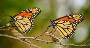 092914_Monarchs_king_web