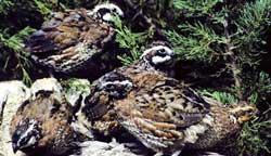 100914-quails