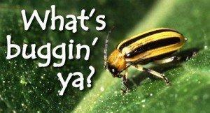 010915-beetle2