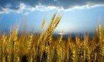 022315-wheat-ksu