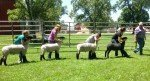 062515-melvern-sheep-show