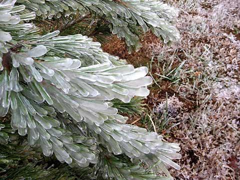 112915-icy-evergreen2