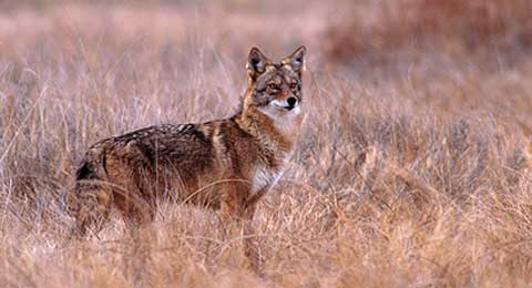Kansas coyotes survive in the plains, pastures, cropland or cities.