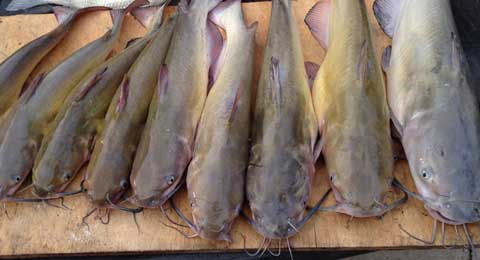 071616-jugline-catfish