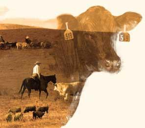 090116-cattle-handling2