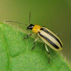 Striped Cucumber Beetle, bane of cucurbits.